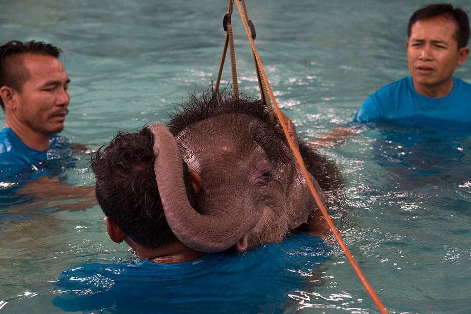 L'éléphanteau «Fah jam» («Ciel clair») se repose sur l'épaule de l'un de ses gardiens durant son traitement d'hydrothérapie. (AFP)