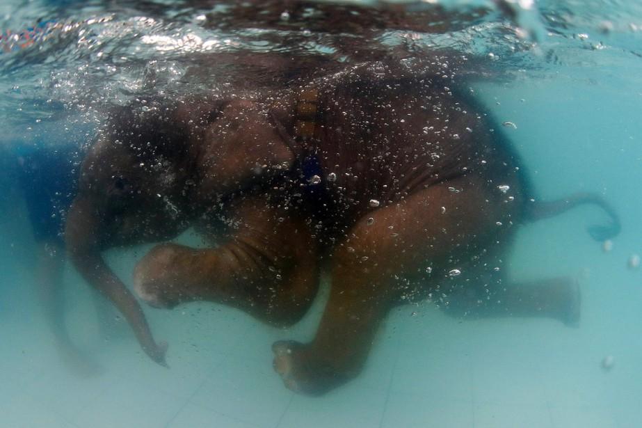 C'est la deuxième fois que l'éléphanteau reçoit ce traitement d'hydrothérapie. (REUTERS)