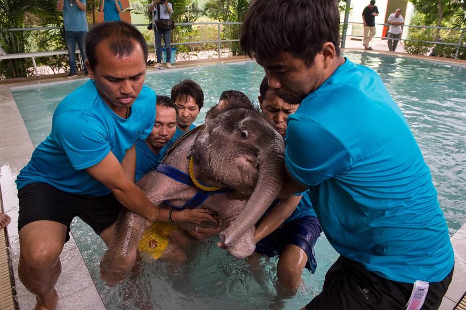 Pour l'instant, les déplacements de l'éléphanteau sont lents et mal habiles et elle doit être portée par plusieurs employés de la clinique pour pouvoir monter dans un camion ou pour descendre dans la piscine. (AFP)
