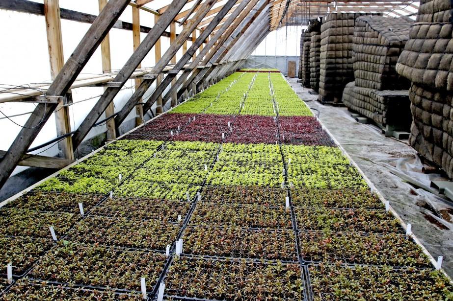 Plus de 800 000 boutures poussent dans les Serres Vaillancourt. (PATRICK WOODBURY, Le Droit)