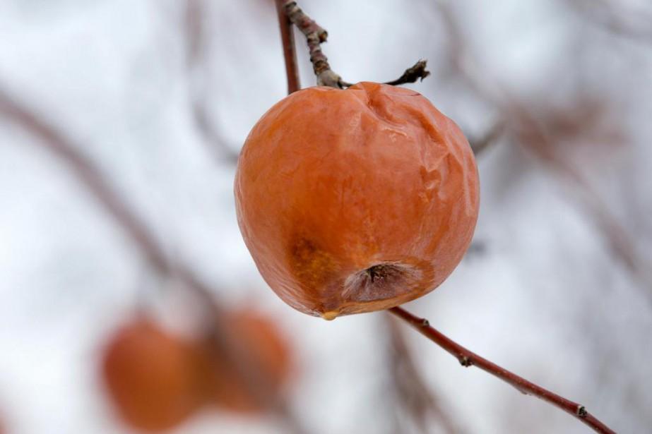 Seules certaines variétés de pommes se prêtent à... (Photo Robert Skinner, La Presse)