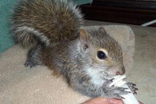 Les bébés écureuils doivent parfois être hydratés.... (photo fournie par IwonkaCiombor)