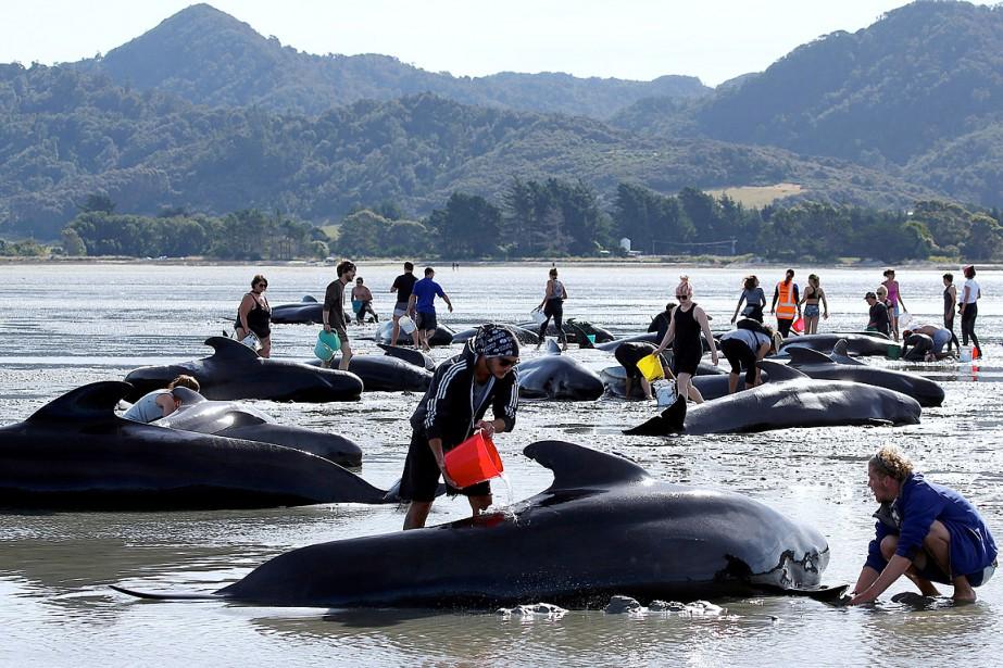 Des volontaires tentent de sauver les baleines survivantes... (Photo Anthony Phelps, REUTERS)