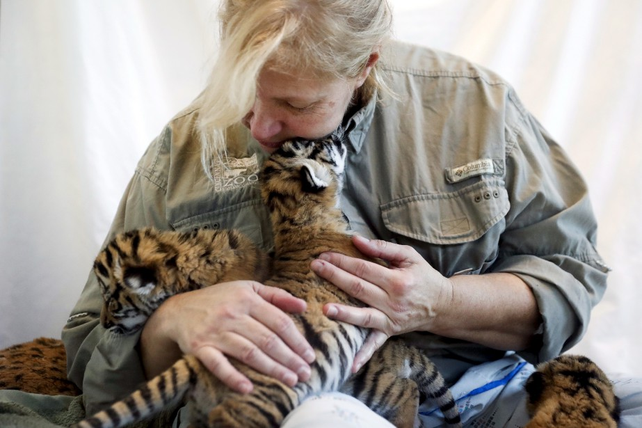 Dawn Strasser, du zoo de Cincinnati, nourrit des tigres de Malaisie nouveaux-nés. Nés le 3 février dernier, ils ont été enlevés à leur mère de trois ans, Cinta, qui démontrait un manque d'instinct maternel. Selon les experts sur place, il est commun pour les jeunes parents tigres de ne pas savoir quoi faire avec leurs petits et ils se montrent parfois agressifs, allant jusqu'à tuer ces derniers. | 14 février 2017