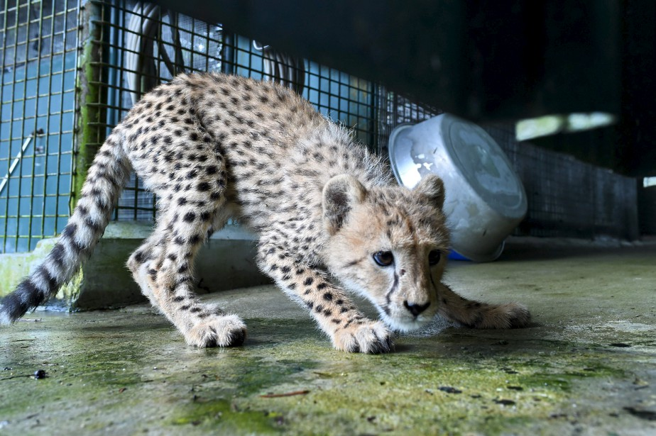 Un bébé guépard, âgé de 4 mois, découvre son enclos au Zoo de Singapour. | 15 février 2017