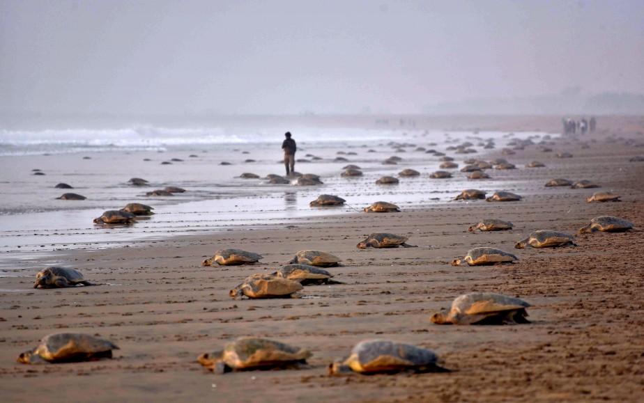 Des tortues olivâtres (Lepidochelys olivacea) retournent à la mer après avoir pondu leurs oeufs dans le sable sur la plageRushikulya, en Inde. Des milliers de tortues olivâtres ont visité les rives de la baie de Bengale dans les derniers jours, faisant de ce site l'un des trois emplacements de ponte principaux de la région d'Orissa. | 16 février 2017