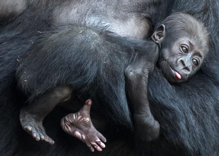 Un bébé gorille de deux mois relaxe dans les bras de sa mère Kibara au zoo de Leipzig, en Allemagne, après avoir reçu le nom de Kianga. | 16 février 2017