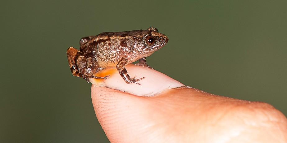 La grenouille miniature<em>Nyctibatrachus pulivijayani</em> (AFP, S.D. Biju)