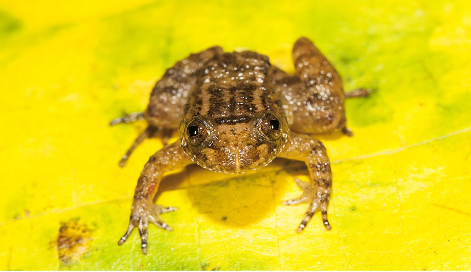 La grenouille miniature<em>Nyctibatrachusathirappillyensis</em> (AFP, S.D. Biju)