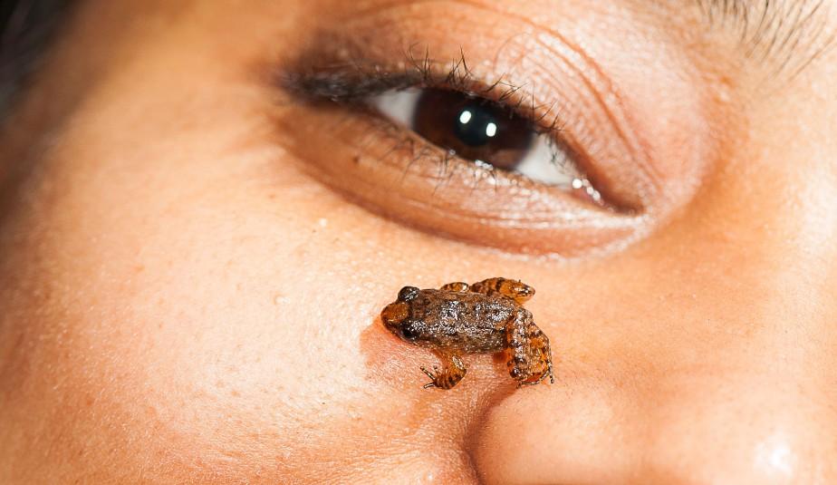 La grenouille miniature<em>Nyctibatrachusmanalari</em> (AFP, S.D. Biju)