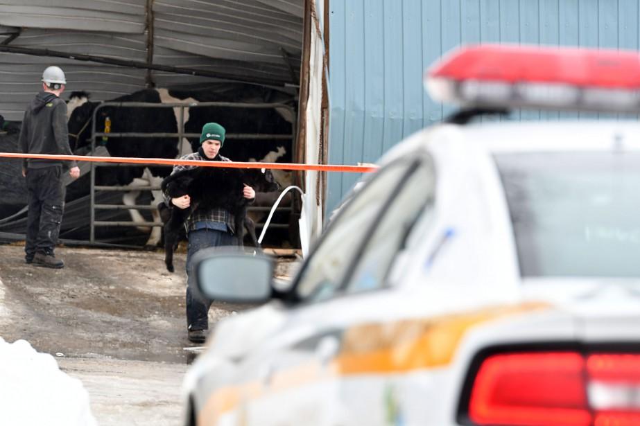 Le bâtiment effondré abritait une vingtaine de bêtes, essentiellement des veaux. | 22 février 2017