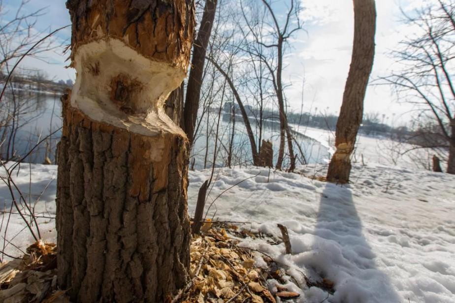 Près de 1000 arbres et arbustes ont été... (PHOTO OLIVIER JEAN, LA PRESSE)