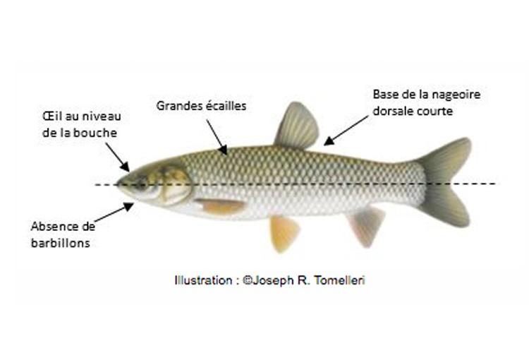 La carpe des Roseaux... (Photo tirée du site internet du Ministère des forêts de la Faune et des Parcs)