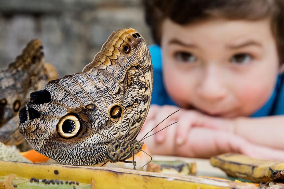 Un enfant observe un papillon chouette... (PHOTO ALAIN ROBERGE, LA PRESSE)