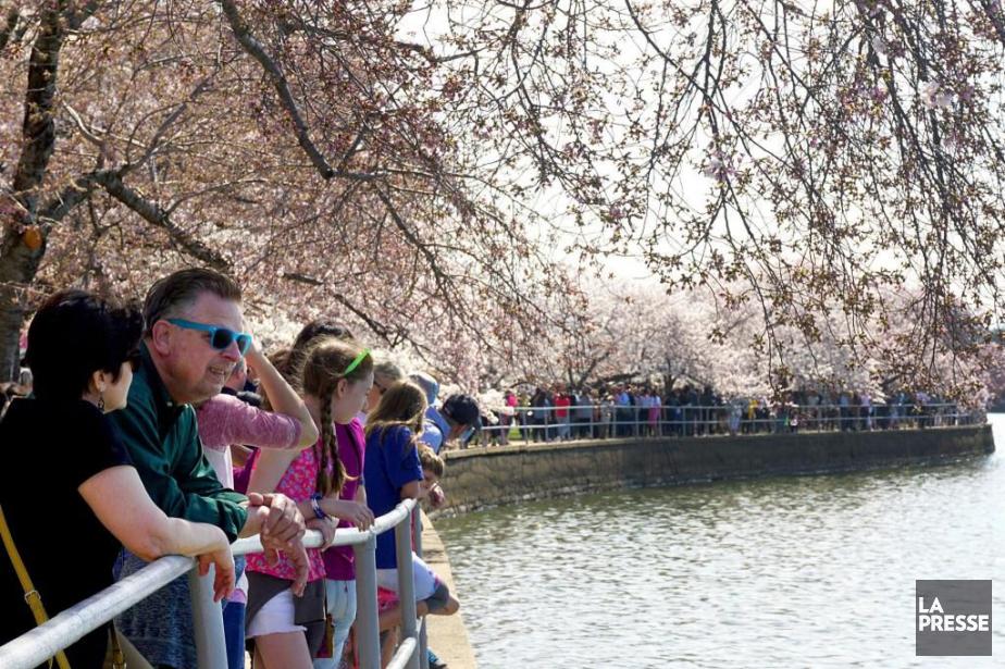 Les cerisiers à Washington.... (Photo Audrey Ruel-Manseau, La Presse)