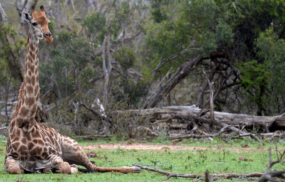 Une girafe au repos, un moment rare, capté à une dizaine de mètres de distance. «Il faut que l'animal se sente en confiance pour se coucher comme ça.» (Le Soleil, Erick Labbé)