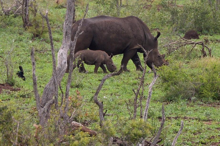Une maman rhinocéros et son petit, né sans corne. (Le Soleil, Erick Labbé)