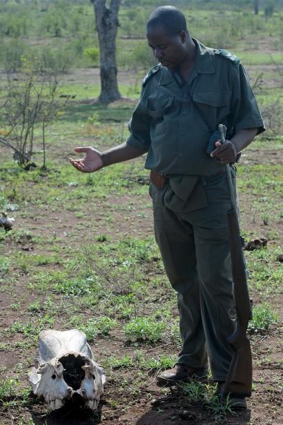 Le garde-forestier Oscar devant le crâne d'un rhinocéros. L'animal a été amputé de sa corne par des braconniers venus du Mozambique, le pays voisin. La photo a été prise au petit matin, lors d'une sortie à pied. | 22 mars 2017