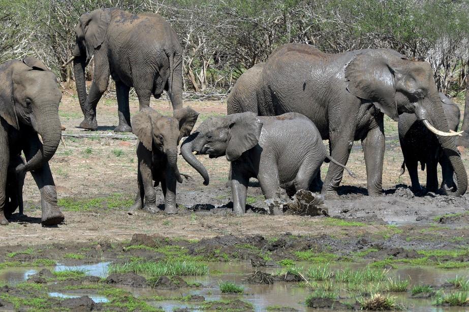 Un troupeau d'éléphants se désaltérant à un point d'eau. Les pachydermes en profitent aussi pour s'enduire le corps de boue, histoire de se protéger du soleil. | 22 mars 2017