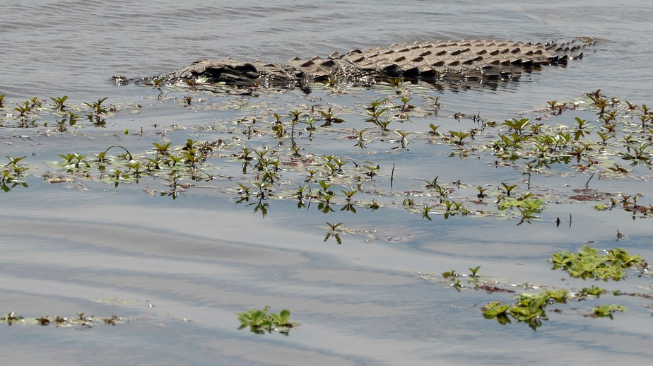 Le camouflage est un art dans la savane sud-africaine pour chasser ou éviter de l'être. Ce crocodile passe facilement pour un tronc d'arbre à travers les roseaux. | 22 mars 2017