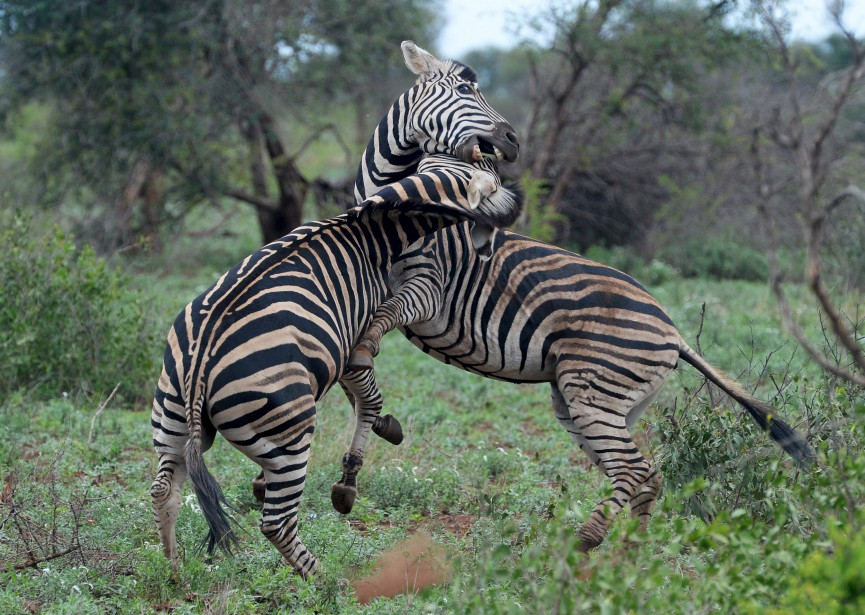 Deux zèbres mâles en plein affrontement (Le Soleil, Erick Labbé)