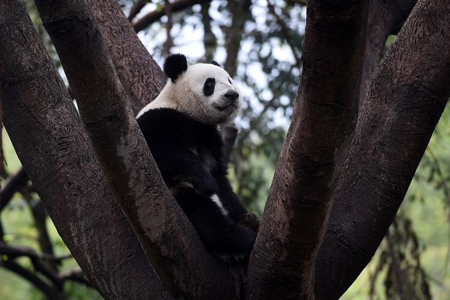 Le panda géant est la mascotte officieuse de... (PHOTO GREG BAKER, ARCHIVES AGENCE FRANCE-PRESSE)