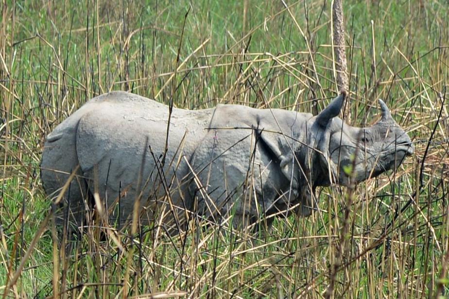 Un rhinocéros à une corne auParc national de... (Photo PRAKASH MATHEMA, archives Agence France-Presse)