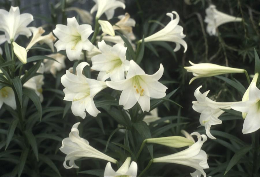 Lis de Pâques (<em>Lilium longiflorum</em>) (Photos www.jardinierparesseux.com)