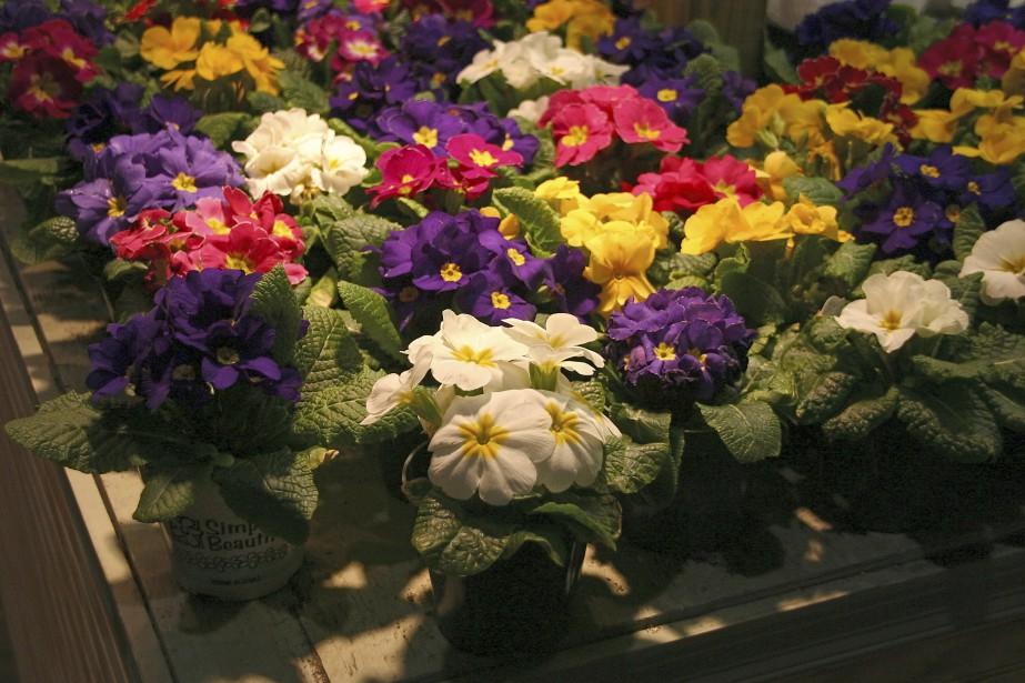 Primevères (<em>Primula spp.</em>) (Photos www.jardinierparesseux.com)