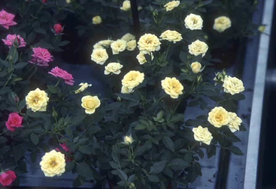 Rosier miniature (<em>Rosa spp.</em>) (Photos www.jardinierparesseux.com)