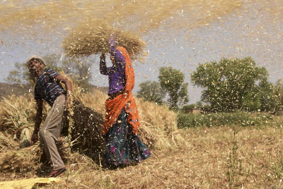 Des agriculteurs indiens séparent la coquille des grains de blé de récolte dans un domaine du Rajasthan. | 20 avril 2017