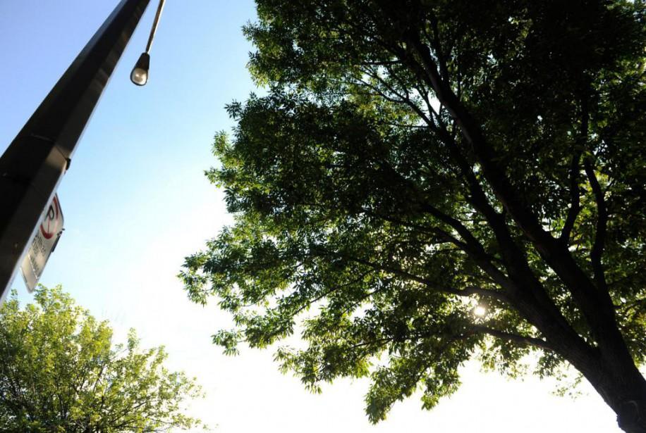481680--Montréal, Québec:Arbres:frênes qui ont une maladie sur la...
