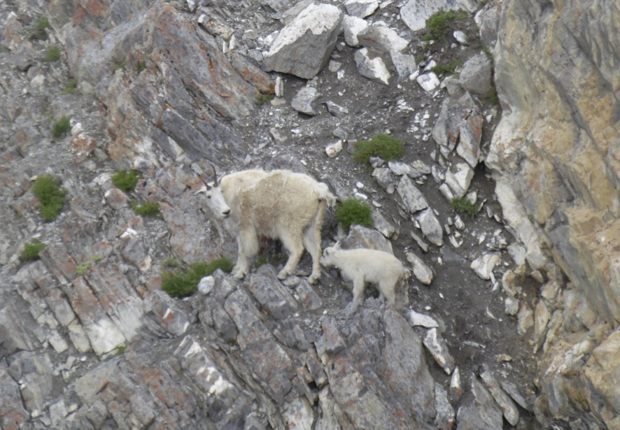 Une chèvre de montagnes et son petit, photographiés depuis le Glacier Skywalk. (Collaboration spéciale Normand Provencher)