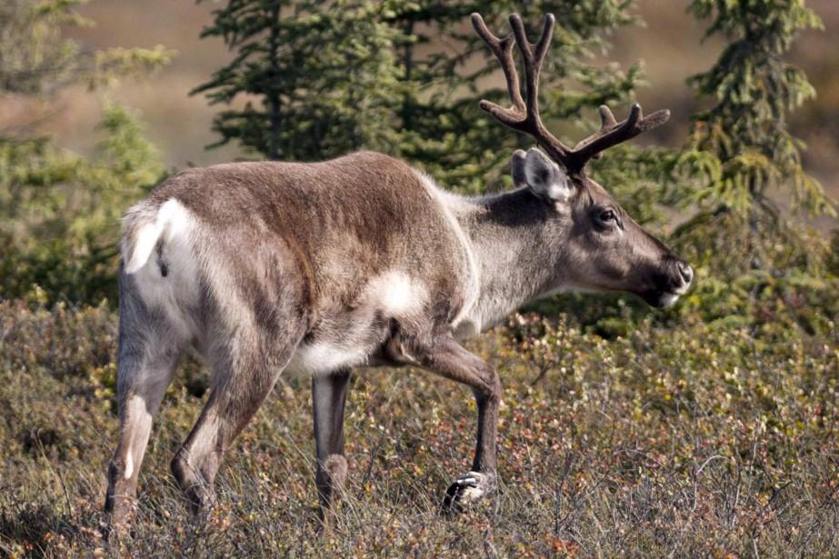 Le caribou migrateur de l'Est comptait plus de... (Photo archives La Presse canadienne)