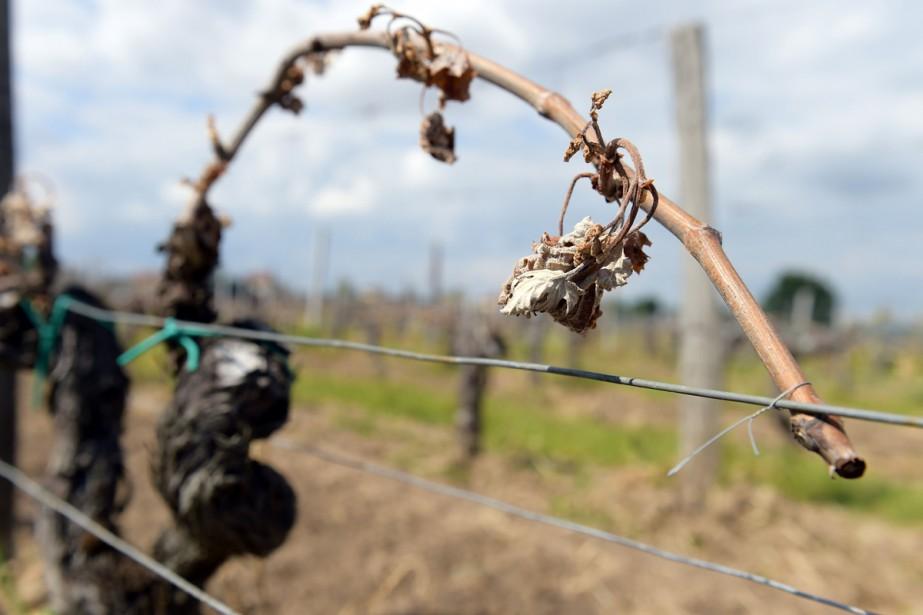 Un vignoble de Vignonet, près de Saint-Émilion dans... (PHOTO AFP)