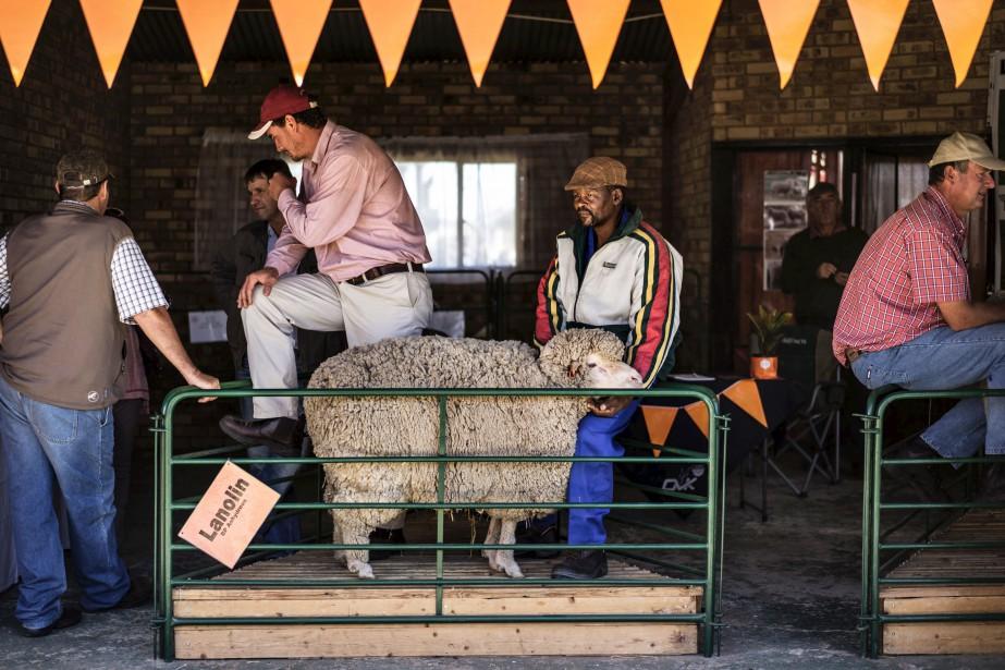 Un mouton mérinos attend de connaître de son sort pendant une foire agricole à Bothaville, en Afrique du Sud, | 16 mai 2017
