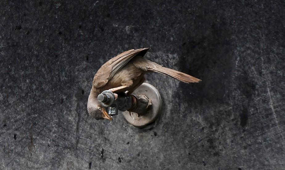 Un oiseau du Jardin botanique d'Alipore, en Inde, se désaltère. | 16 mai 2017