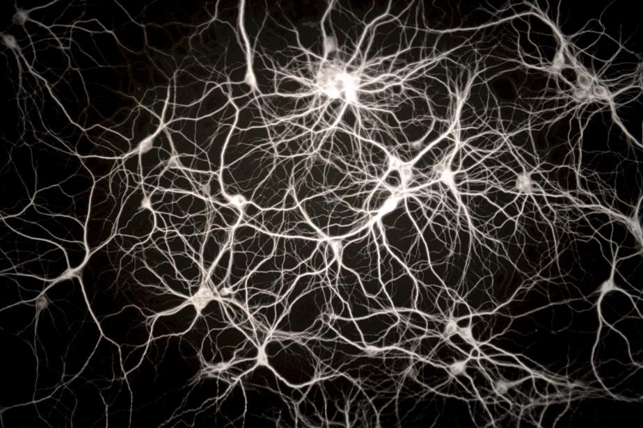 Les neurones du cerveau font d'innombrables connexions qui peuvent se remodeler presque à l'infini au cours d'une vie. La technologie moderne nous permet maintenant de photographier ces réseaux. (Le Soleil, Erick Labbé)
