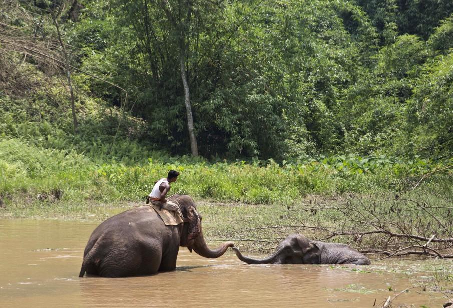 Les vétérinaires tentent depuis cinq jours de sortir ce bébé éléphant blessé d'un marécage dans les environs de Gauhati, en Inde. | 24 mai 2017