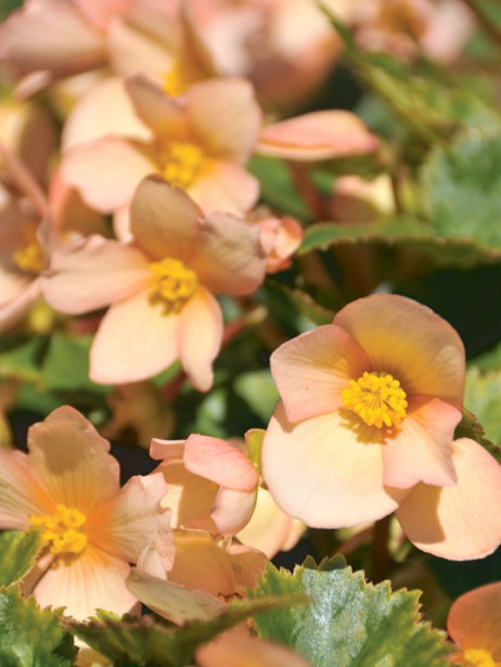 <em>Begonia</em> Unbelievable<sup>TM</sup> Lucky Strike 2017. (lesexceptionnelles.ca)