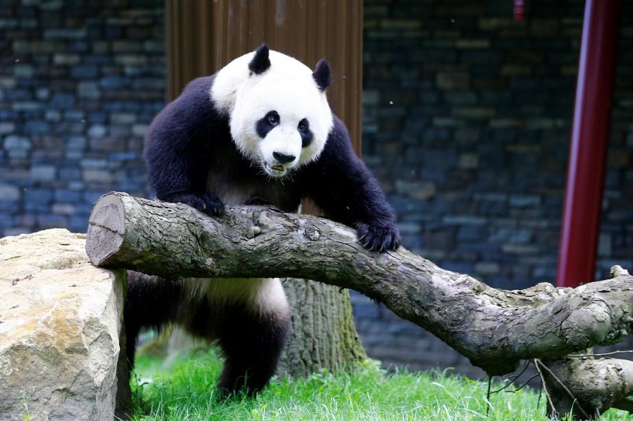 Xing Ya se montre au public dans le... (PHOTO REUTERS)