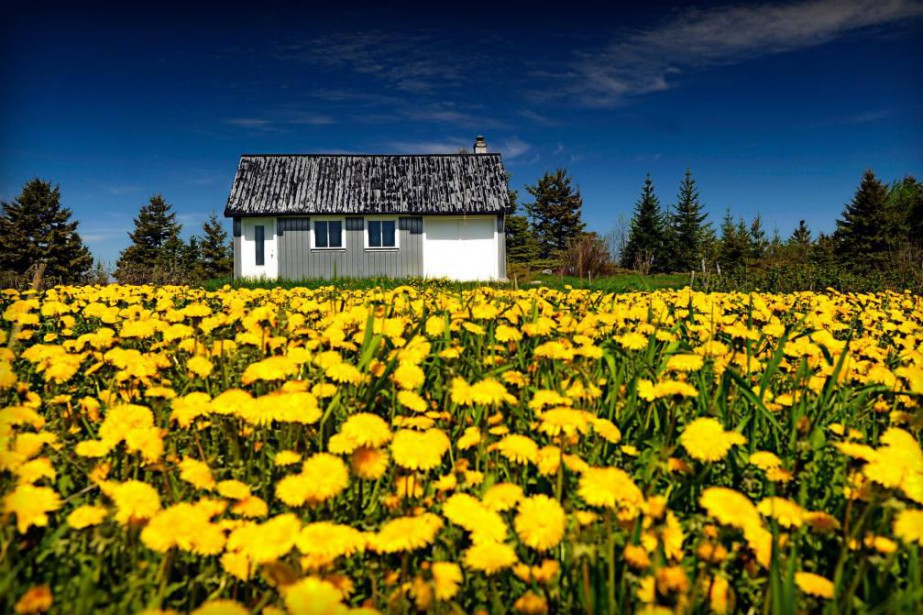 Le pissenlit est l'une des premières fleurs de... (Photo Bernard Brault, archives La Presse)