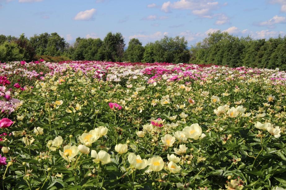 Les champs des Fleurs Maltais sont tout simplement splendides à cette période de l'année alors que les pivoines de l'entreprise familiale sont en pleine floraison. ()