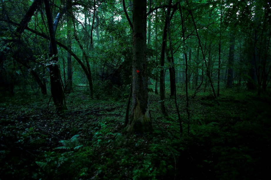 La forêt de Bialowieza est la dernière forêt... (PHOTO REUTERS)
