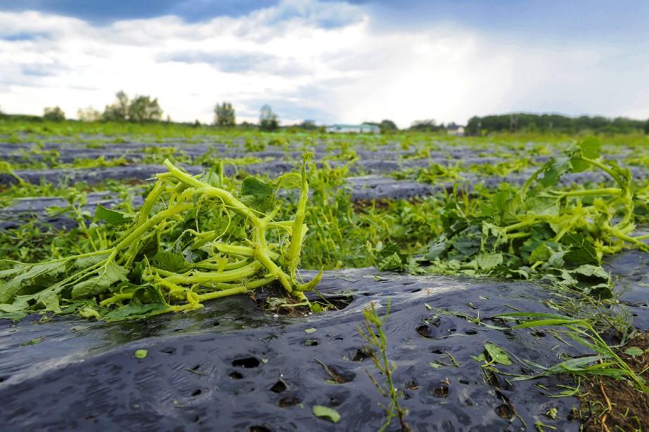 <strong></strong>Une grande partie des récoltes de la production maraîchère À Contre Vent de Saint-Gédéon est une perte totale. (Le Progrès, Gimmy Desbiens)
