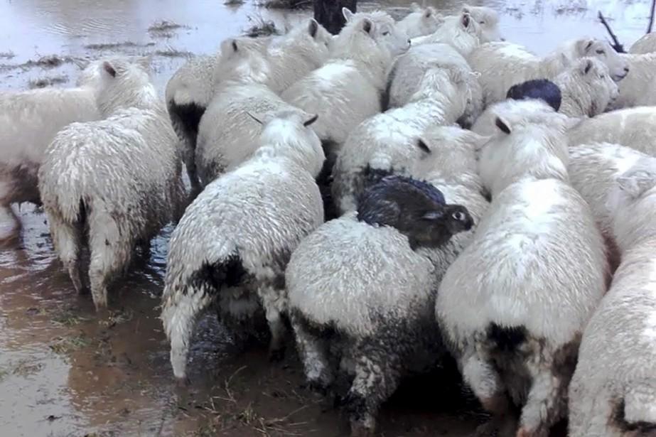 Les lièvres sur le dos des moutons.... (Photo Ferg Horne , AP)