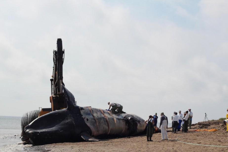 Une baleine noire trouvée morte dans les eaux... (Photo d'archives)