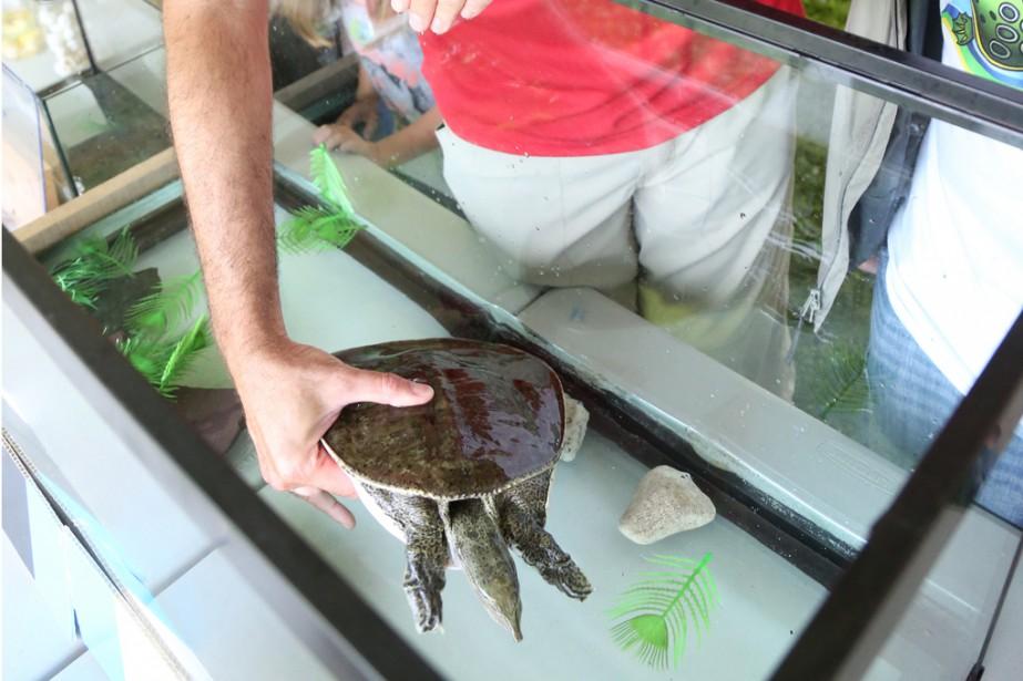 La tortue-molle à épines était la grande vedette de Mikinak, la fête de la tortue de Pike River. | 8 août 2017