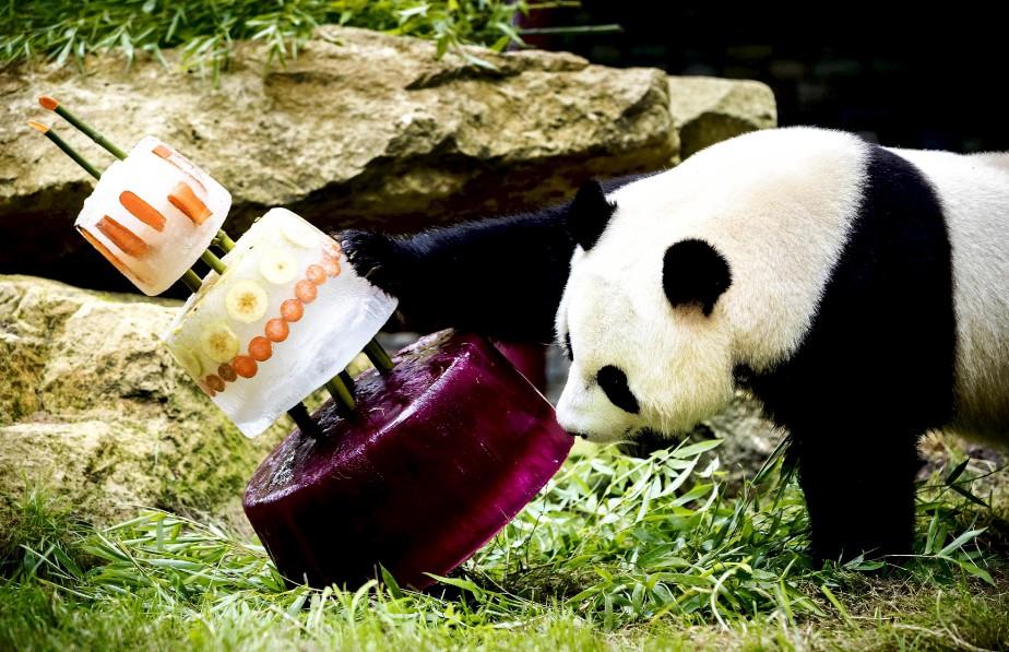Le panda géant, Xing Ya, célèbre son quatrième anniversaire avec un gâteau de glace, au zoo Ouwehands Dierenpark, à Rhenen, aux Pays-Bas.   8 août 2017
