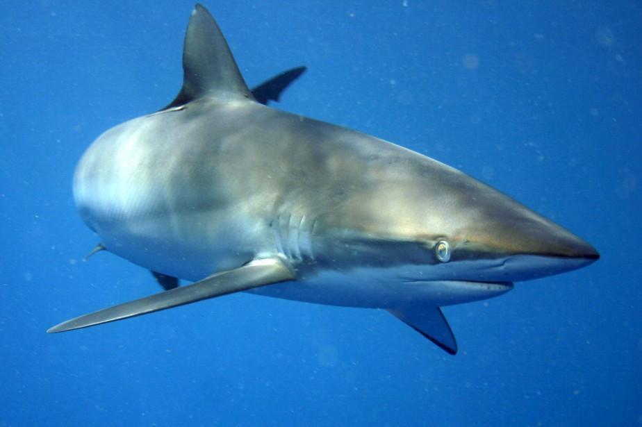 Le requin soyeux est menacé d'extinction.... (PHOTO WIKICOMMONS)